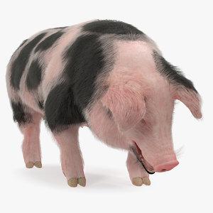 pig sow peitrain standing 3D model