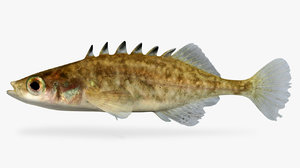 3D model culaea inconstans brook stickleback