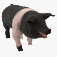 3D hampshire pig sow walking