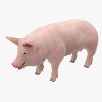 pig sow landrace fur 3D model