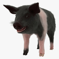 3D hampshire pig piglet fur