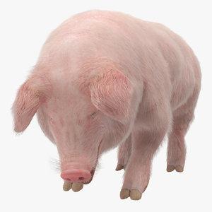 3D pig sow landrace standing