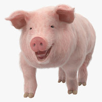pig sow landrace walking 3D