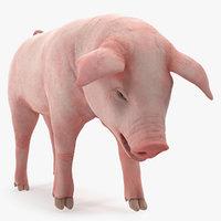 pig piglet landrace standing 3D model