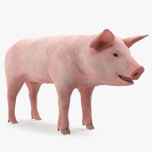 3D model pig piglet landrace