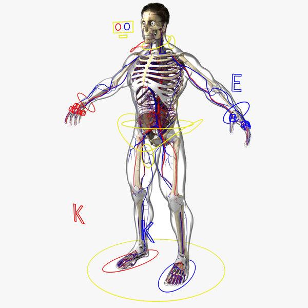 3D circulatory rigged male model