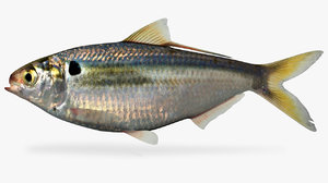 3D dorosoma petenense threadfin shad model