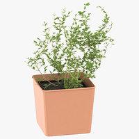3D thyme herb model