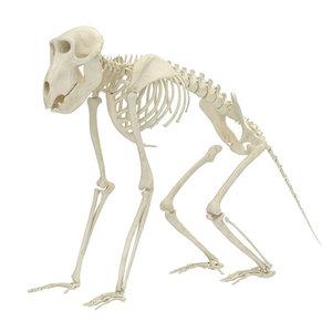 3D baboon skeleton