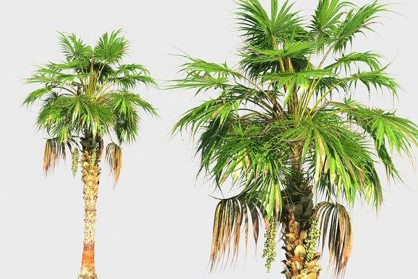 3D china palm model