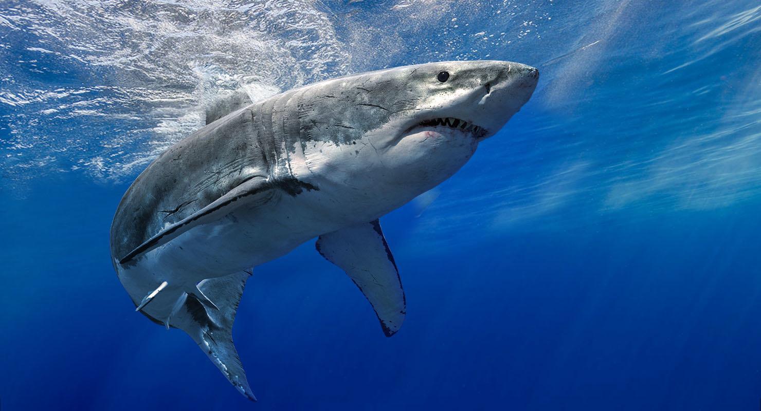 realistic shark rigged 3D model