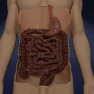 digestive intestinal model