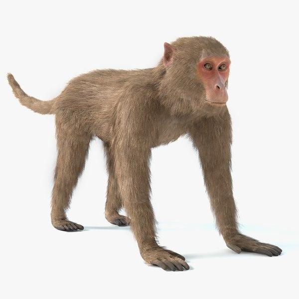 rhesus monkey 3D