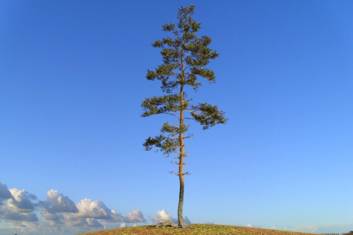pine tree 8 3D