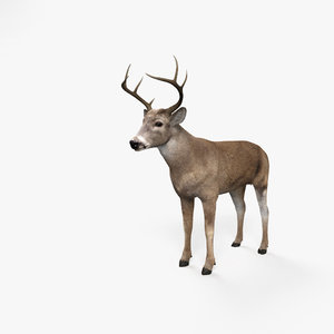 deer white-tailed model