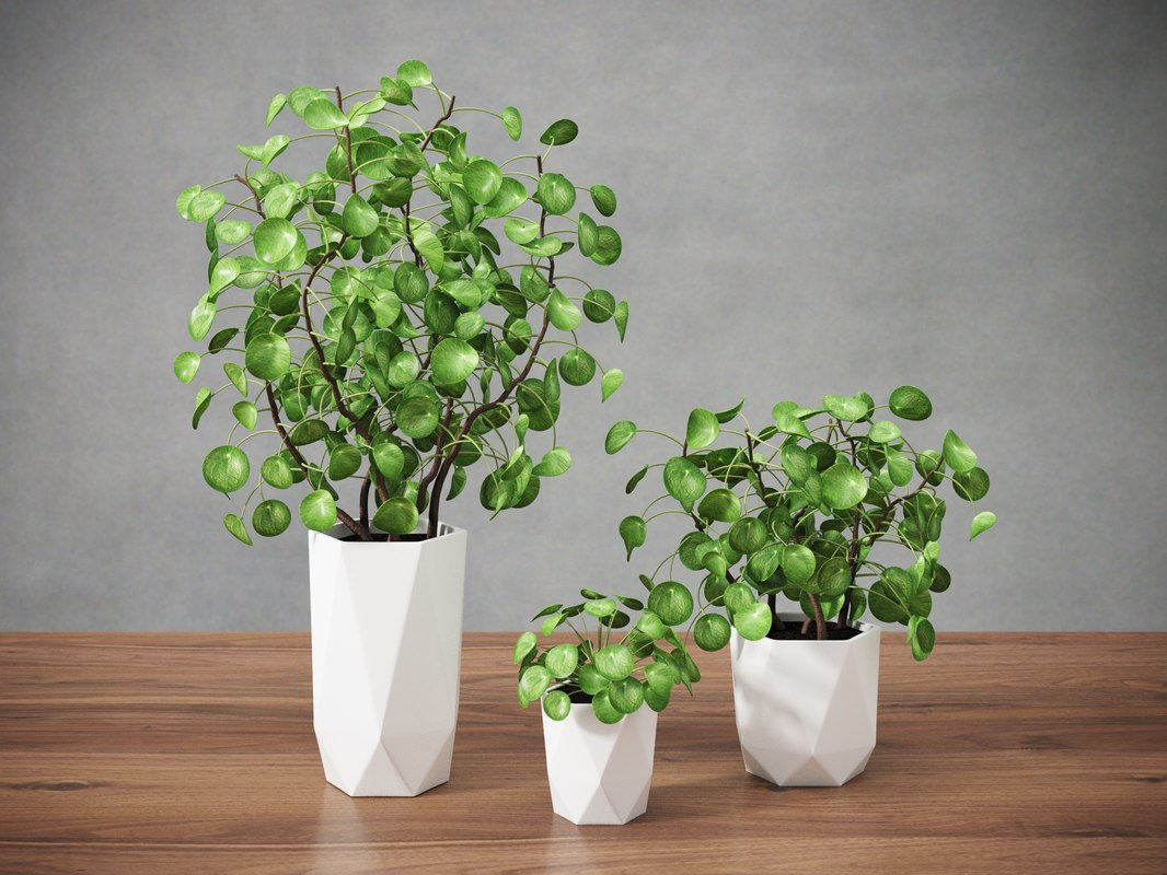 Pilea Peperomioides Chinese Money Model
