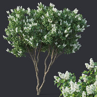 Lilac, Syringa vulgaris # 4 Two trees H390cm