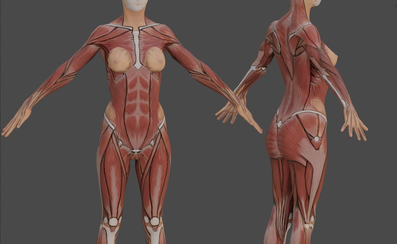female anatomy reference model