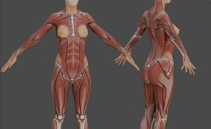 female anatomy reference model