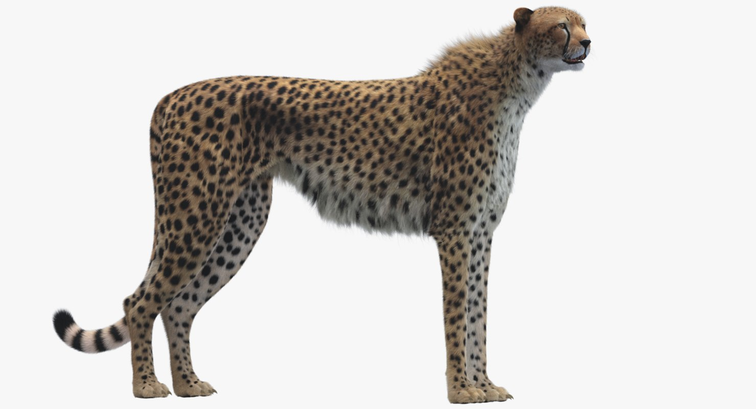 3D model cheetah rigged