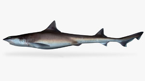 3D whitemargin smoothhound shark