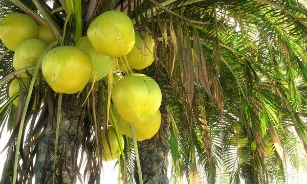 3D model coconut palm pack 12
