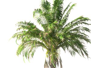 3D coconut palm hd