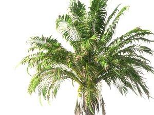 3D coconut palm hd