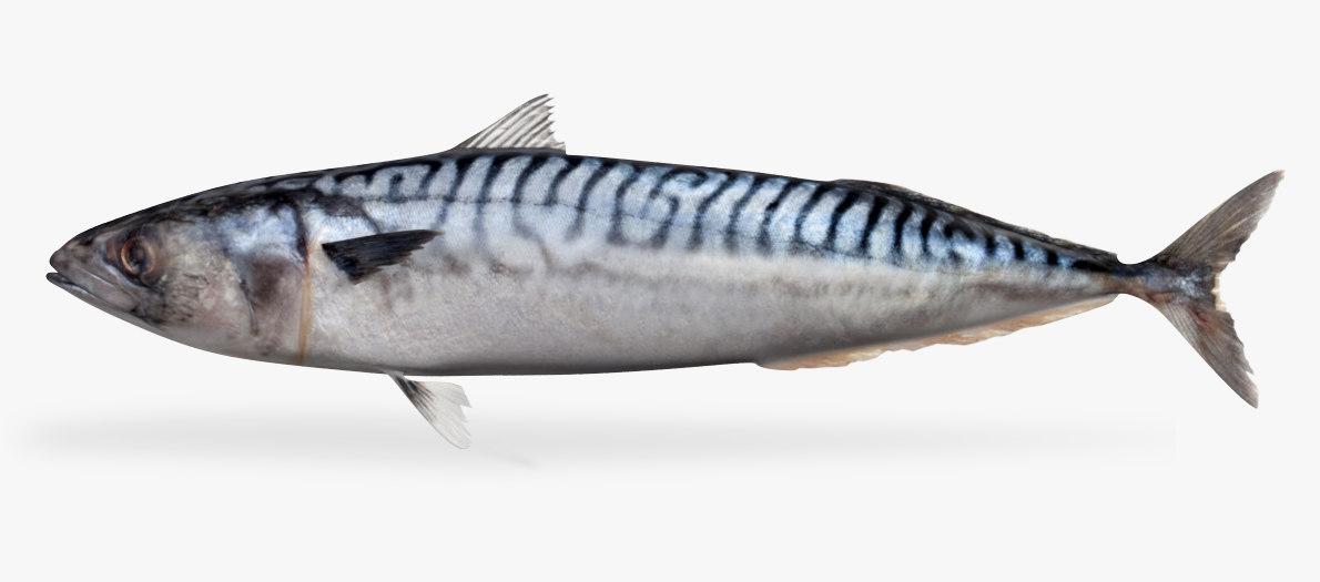 3D mackerel model