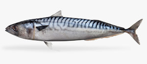 3D mackerel model