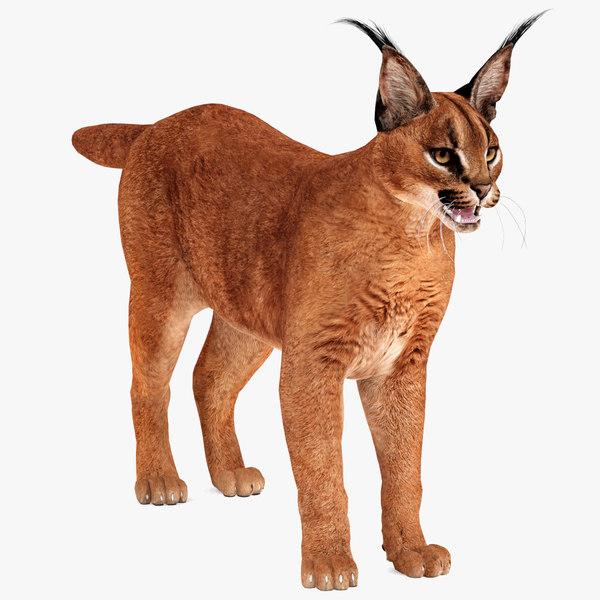 caracal cat animal 3D