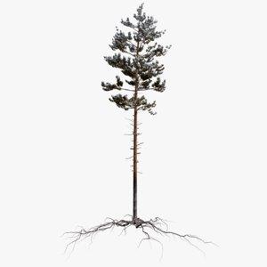 winter pine tree 2 3D model