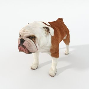 dog bulldog bull model