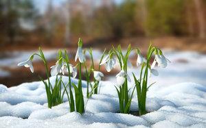 3D snowdrop flower model