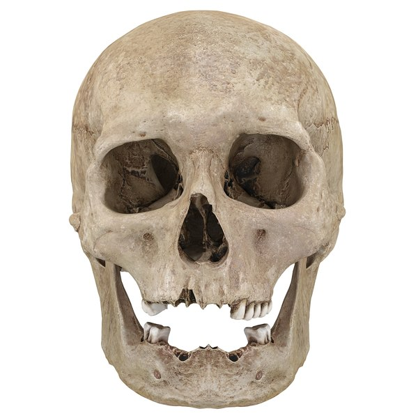 3D scan real human skull