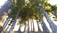 3D pine tree pack 7
