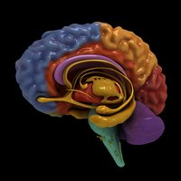 3D colorful separated brain nerves model