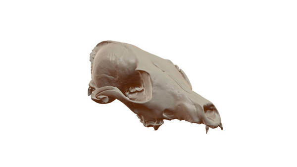 3D scull fox model