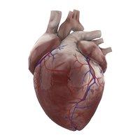 3D human heart ready games model