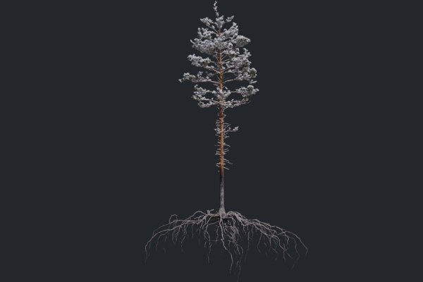 winter pine tree 3 3D model