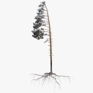 winter pine tree 4 3D model