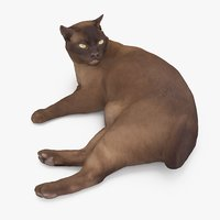 3D cat abyssinian model
