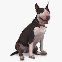 Bull Terrier Dog Sitting
