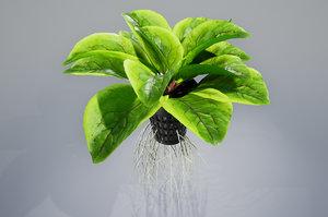 lettuce salad vegetable 3D model