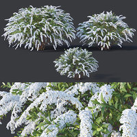 Spiraea # 5 Spiraea X Cinerea. Grefsheim. 3 sizes