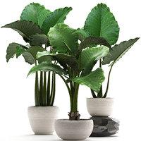 3D home plants exotic alocasia model