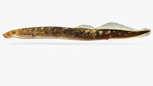 3D lampetra aepyptera brook lamprey