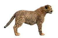 cheetah fur 3D model
