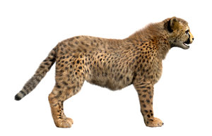 cheetah fur 3D model