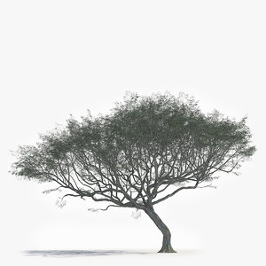 realistic african acacia tree 3D model